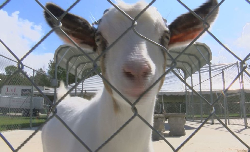 A goat was one of many animals rescued from Hurricane Florence. (Source: WECT)