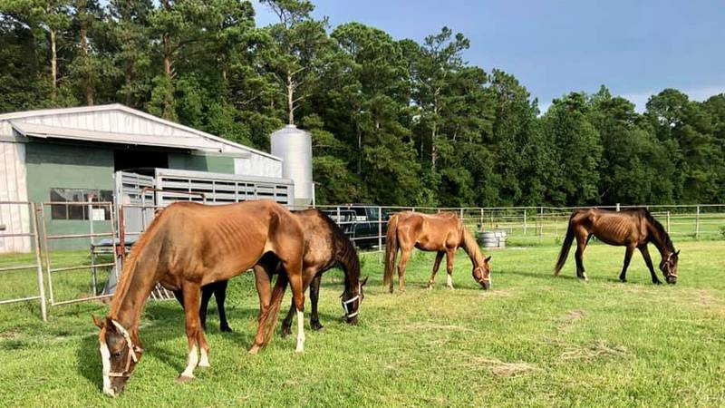 Emaciated horses being cared for at Penderosa Rescue and Sanctuary