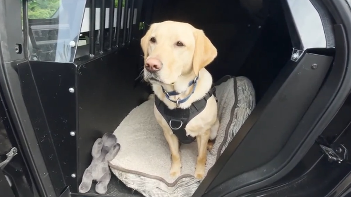Marian is a yellow Labrador who also works as a bomb dog.