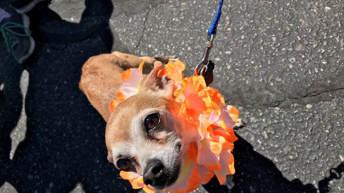 This cute little dog was at the Bow Wow Meow Luau on Sunday. (Source: NBC12)