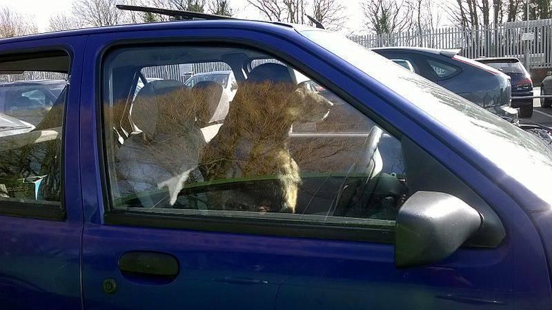 Dog drives car (Source: Wikimedia Commons)
