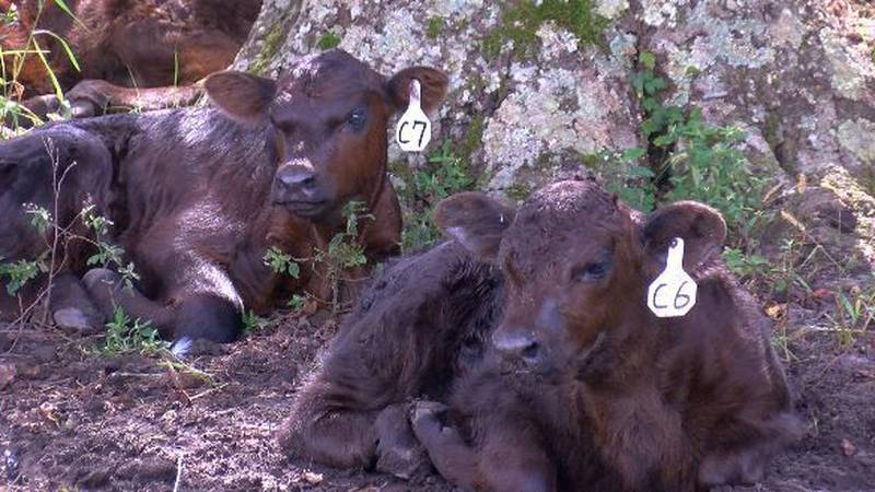Cows rest at Old River Farms. (Source: WECT)