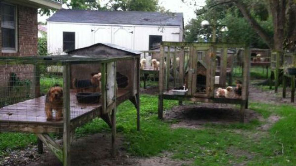 Deputies found large and small breed dogs and puppies being kept inside wire chicken coops in...
