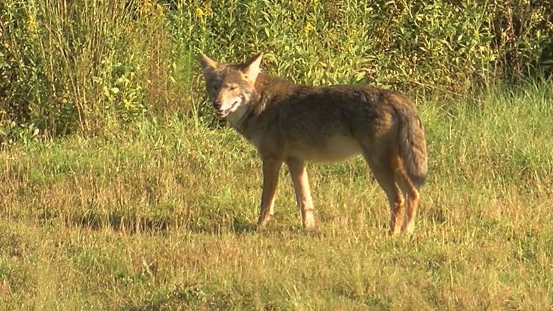 Coyote mating season runs from January through March in Southeastern Carolina. (Source: WECT)