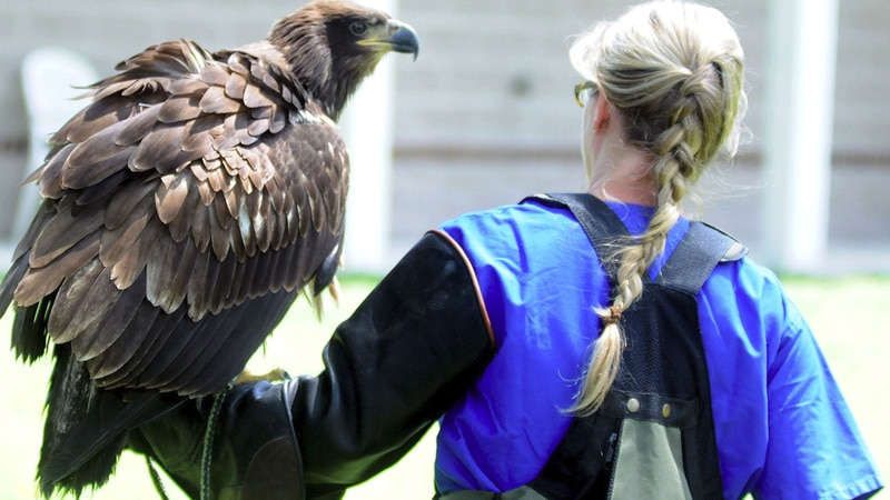 A young bald eagle is carried by a worker at Cape Fear Raptor Center in Rocky Point. (Source:...
