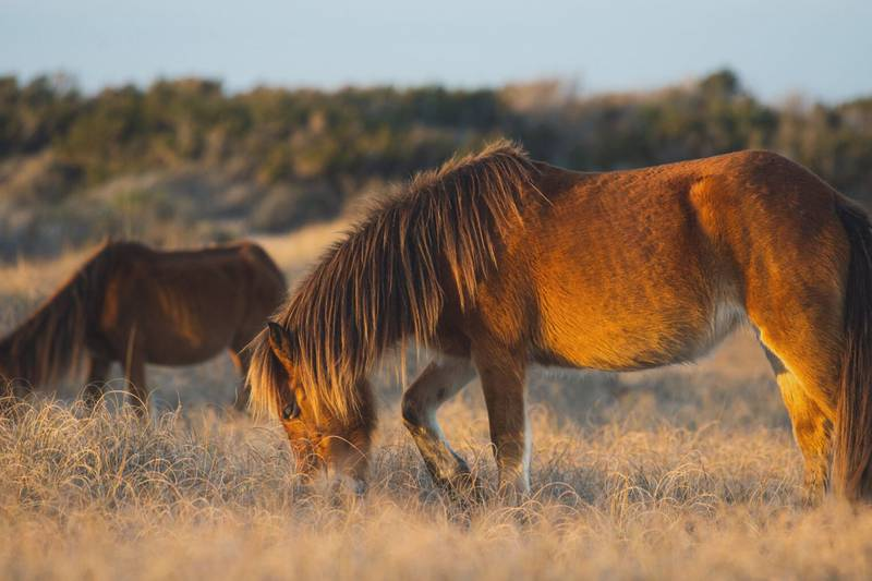 Photographer Mark Darrough will sell some of his photographs of horses in Shackleford Banks as...