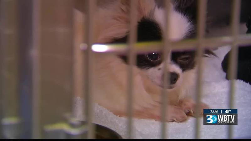 The dogs, of varying ages, were among 145 dogs rescued from a reported puppy mill in Laurens...