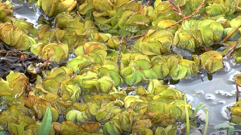 A task force has been put together to eradicate Giant Salvinia