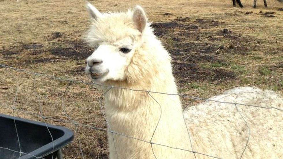 Gruber said she has the alpacas around because they will stomp coyotes to death, just like...