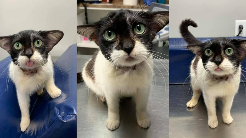 A cat that was found by a volunteer at the Humane Society of Rowan County has garnered national...
